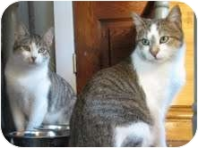 Domestic Shorthair Kitten for adoption in Chicago, Illinois - Maxine & Mimi
