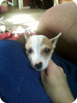 Rat Terrier/Terrier (Unknown Type, Small) Mix Puppy for adoption in Baltimore, Maryland - Vinny