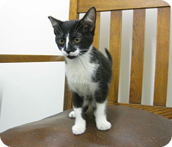 Domestic Shorthair Kitten for adoption in Los Angeles, California - Wolfie- SWEET baby girl