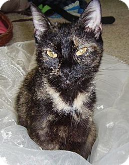 Domestic Shorthair Cat for adoption in Hendersonville, Tennessee - Misty