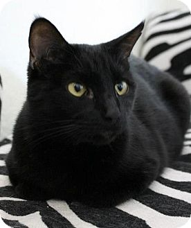 Domestic Shorthair Cat for adoption in Fountain Hills, Arizona - LEIA