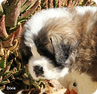 St. Bernard Puppy for adoption in Bellflower, California - Dixie