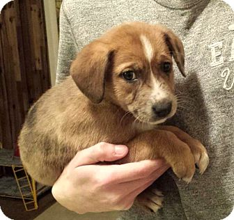 Catahoula Leopard Dog/Retriever (Unknown Type) Mix Puppy for adoption in Westport, Connecticut - *Little Brown Bear - PENDING