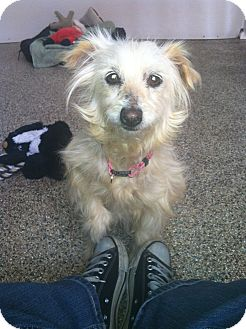 Silky Terrier Mix Dog for adoption in Thousand Oaks, California - Cher