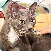 Domestic Shorthair Cat for adoption in Winston-Salem, North Carolina - Clarice