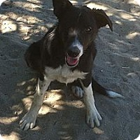 Adopt A Pet :: Star - Phelan, CA