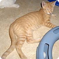 Adopt A Pet :: Bootsie - Richmond, VA