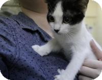 Domestic Shorthair Kitten for adoption in Stillwater, Oklahoma - Jasmine