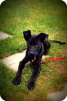 Labrador Retriever/Shepherd (Unknown Type) Mix Puppy for adoption in Wappingers, New York - Betty