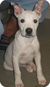 Great Dane/Bull Terrier Mix Puppy for adoption in Cleveland, Georgia - Daniel