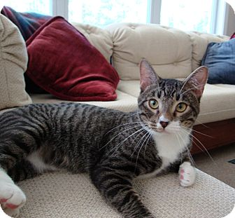 Domestic Shorthair Cat for adoption in Wilmington, North Carolina - Tiger