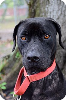 Labrador Retriever Mix Dog for adoption in Bradenton, Florida - Leo