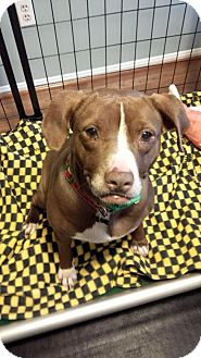 Pit Bull Terrier Mix Dog for adoption in Clarksburg, Maryland - Maple