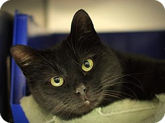 Domestic Shorthair Cat for adoption in Parma, Ohio - Outie