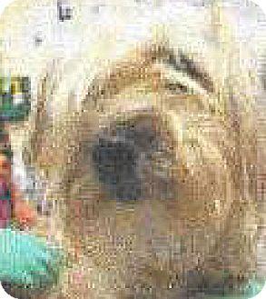 Shih Tzu/Terrier (Unknown Type, Small) Mix Dog for adoption in Spokane, Washington - Rhianna