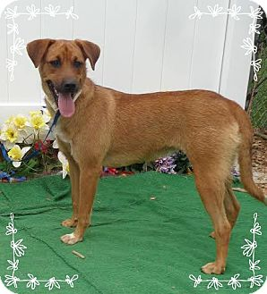 Hound (Unknown Type)/Labrador Retriever Mix Dog for adoption in Marietta, Georgia - EVERLY