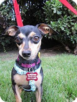 Chihuahua/Dachshund Mix Dog for adoption in Encino, California - Dobie