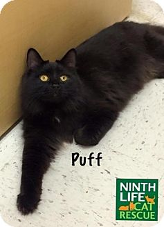 Domestic Longhair Cat for adoption in Oakville, Ontario - Puff