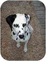 Dalmatian Dog for adoption in League City, Texas - Kelsey