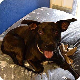 Labrador Retriever Mix Dog for adoption in Denver, Colorado - Anyah