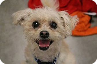 Maltese/Poodle (Toy or Tea Cup) Mix Dog for adoption in Fountain Valley, California - Bentley