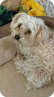 Yorkie, Yorkshire Terrier Mix Dog for adoption in Ogden, Utah - Moose