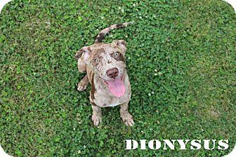 Catahoula Leopard Dog Dog for adoption in Texarkana, Arkansas - Dionysus