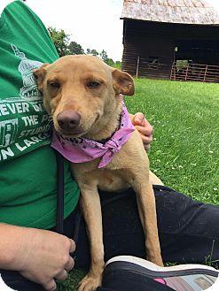 Labrador Retriever/Dachshund Mix Dog for adoption in Arlington, Virginia - Mindy