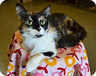 Calico Cat for adoption in Michigan City, Indiana - Bella