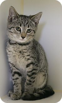 Domestic Shorthair Kitten for adoption in Staunton, Virginia - Beanie