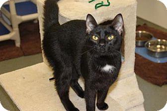 Domestic Shorthair Cat for adoption in Greensboro, North Carolina - Skinny