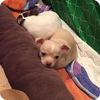 Chihuahua Puppy for adoption in Mary Esther, Florida - Chi pups
