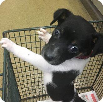 Rat Terrier Mix Puppy for adoption in Hartford, Connecticut - Koda