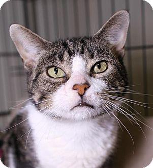 Domestic Shorthair Cat for adoption in Winston-Salem, North Carolina - Isabela