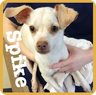 Chihuahua/Terrier (Unknown Type, Small) Mix Dog for adoption in Royse City, Texas - Spike
