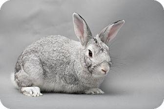 Chinchilla, Standard for adoption in Los Angeles, California - Silver Moon