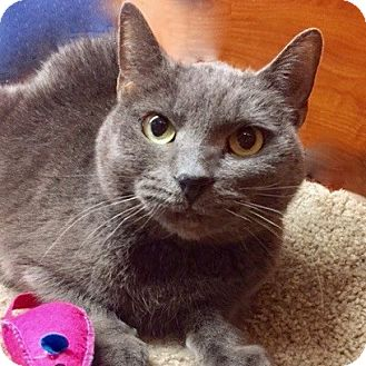 Russian Blue Cat for adoption in Long Beach, New York - Willow