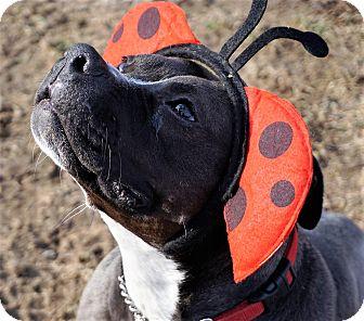 Boxer/Terrier (Unknown Type, Medium) Mix Dog for adoption in Bruce Township, Michigan - Gretal
