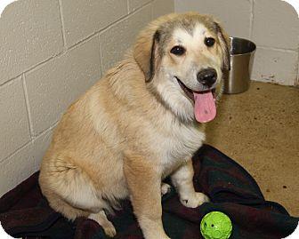 Great Pyrenees/Labrador Retriever Mix Puppy for adoption in Marietta, Ohio - Rarity (Spayed)