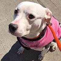 Adopt A Pet :: Nini (Acc) - Whitestone, NY