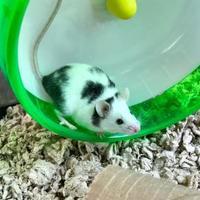 Adopt A Pet :: Almond - Annapolis, MD