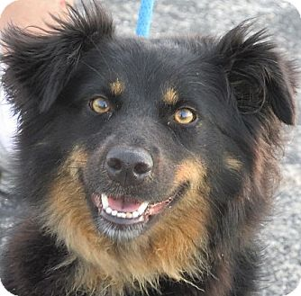 Australian Shepherd Mix Dog for adoption in Germantown, Maryland - Sherry