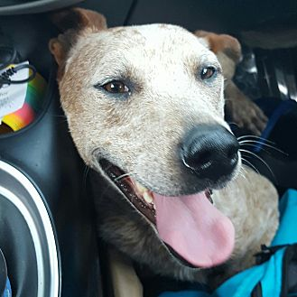 Cattle Dog/Hound (Unknown Type) Mix Dog for adoption in Bakersfield, California - Big Joe