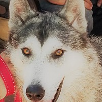 Adopt A Pet :: Doritos - Holly Springs, NC