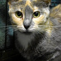 Adopt A Pet :: Sasha Valour - Lakewood, CO