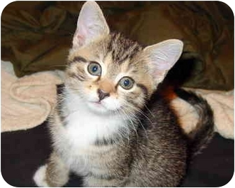 Domestic Shorthair Kitten for adoption in Medina, Ohio - Cheeta