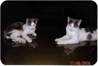 Domestic Shorthair Kitten for adoption in Brownsville, Texas - Astro and Dexter