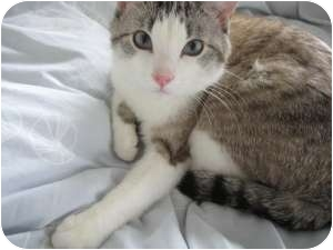 Domestic Shorthair Cat for adoption in Chicago, Illinois - Mister Sienna
