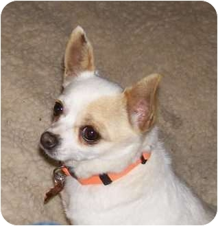 Chihuahua Dog for adoption in Conesus, New York - Snow White