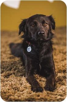 Flat-Coated Retriever Mix Dog for adoption in Portland, Oregon - Gideon